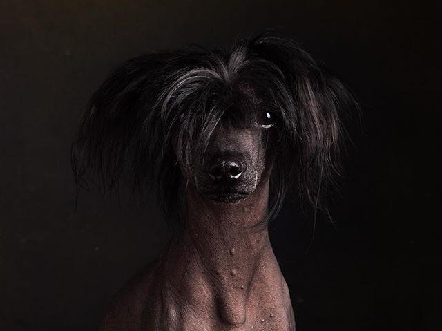 Finn. What a supermodel. Full of energy but on point for shooting. #truedogsphoto #phaseonephoto @phaseonephoto #chinesecrested #chinesecresteddog #chinesischerschopfhund #cologne #belgischesviertel #loftstudiocologne #dog #hundefotografie #hundefotografen #hundefotografieköln