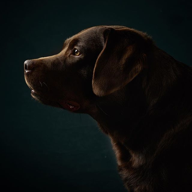 If your dog doesnt want to look straight into the camera, let him look to the side. i love profile portraits! Bruno the #labrador #phaseonephoto #hundefotografen #hundefotografie #dogsofinsta #belgischesviertel #cologne #profotoglobal #profoto #proimaging #captureonepro10 #dogphotography #dogstagram #dogs #dogsandculturecollide #hunde