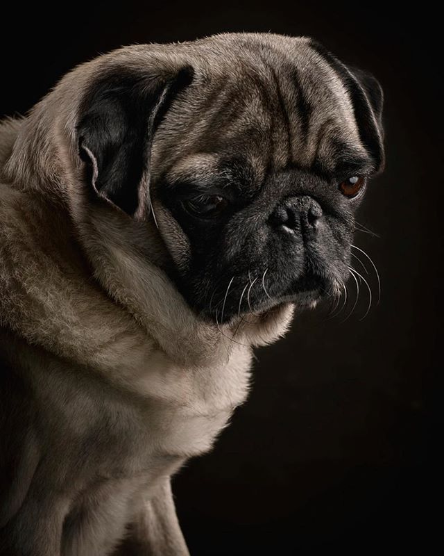 Another image from Egon the #pug. Handsome little guy. #dogs #dogstagram #dogsofinstaworld #dogphotography #mops #mopsliebe #hunde #phaseonephoto @phaseonephoto #hundefotografie @egon_ida_moepseontour #loftstudiocologne #puglove #pugstagram #pugoftheday