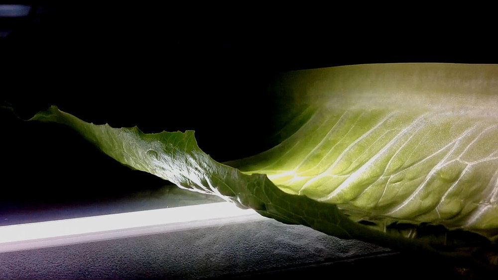 lettuce_2.jpg
