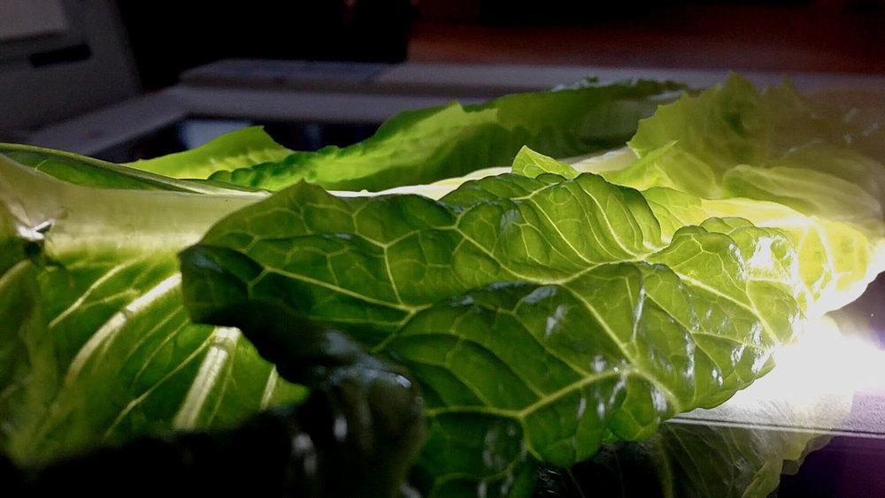 lettuce_3.jpg