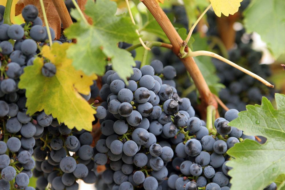 1 grapes 1.jpg
