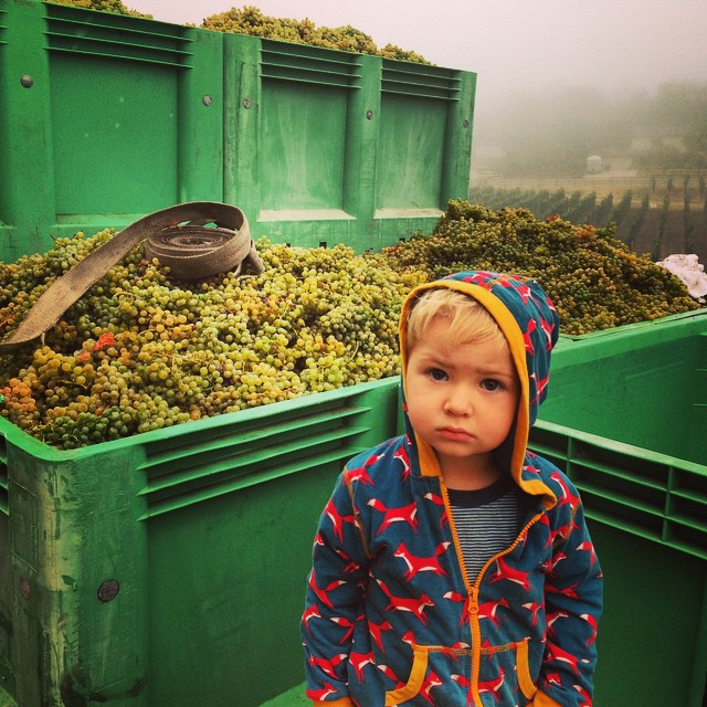 Linus on a foggy morning helping to pick Grüner Veltliner