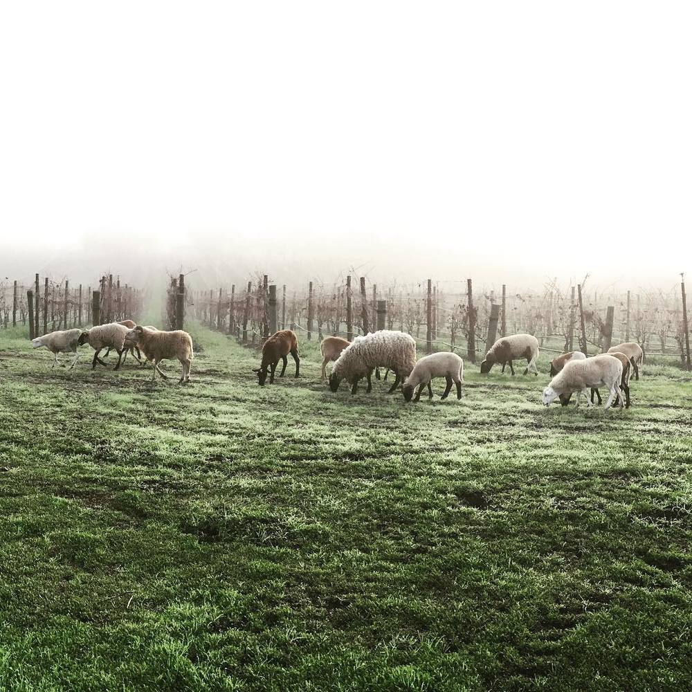 Sheep grazing in the early morning fog at deLanda