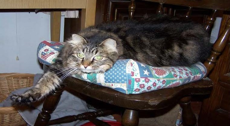 Sissy, Female, 8yrs, 9lbs - Hello! My name is Sissy and I am a gorgeous Maine Coon mix. I can be shy at first, but warm up pretty quickly. Once I know you I am the sweetest and cuddliest cat around. I haven't been around many other animals. I have a litter box w/ scooper, bed, and carrier to take with me to my new home. I recently went to the vet and I am healthy, up to date on shots and FELV/FIV Negative. My human had me spayed so I am ready to head home. Wouldn't you love to have a beautiful girl like me join your family?