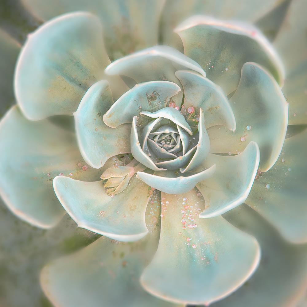 Dew-Drop-Succulent,-Echeveria,-Gray-Green,-Peach-Botanical-Photography,-Serene,-Wedding,-Garden-Nature-Fine-Art-Photography-Print-10x10.jpg