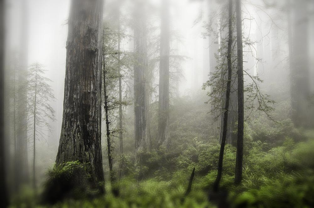 Into-the-Mist,-Redwood-Landscape,-Titianium,-Silver,-Coal,-Emerald,-Fern-Green-Fine-Art-Print-by-KaleidoscopePhoto-8x12.jpg