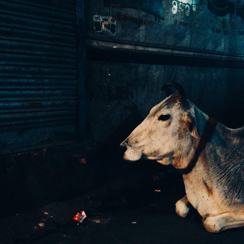 cows-8.jpg