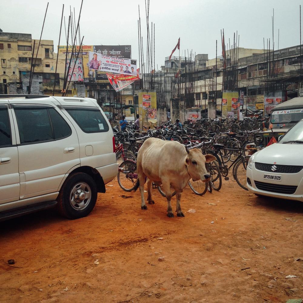 cows-11.jpg