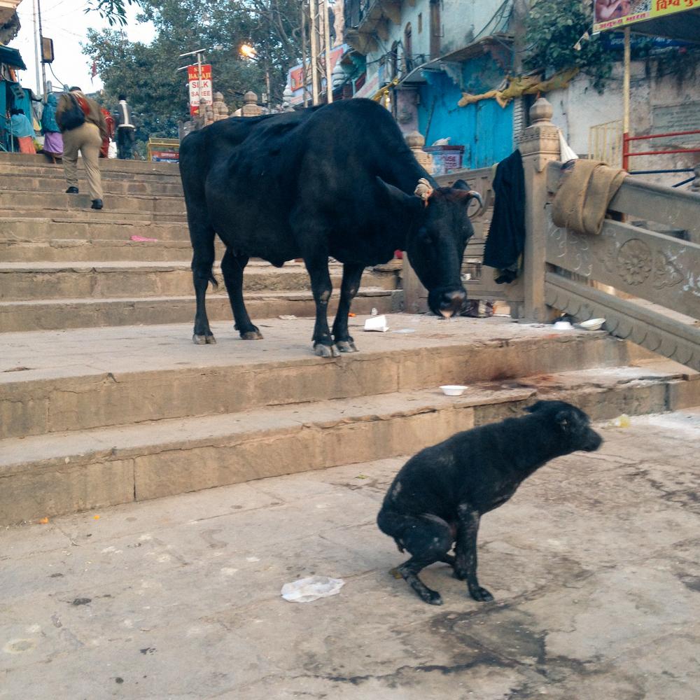 cows-13.jpg