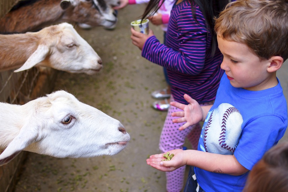 Reid feeding those super hungry and friendly goats.