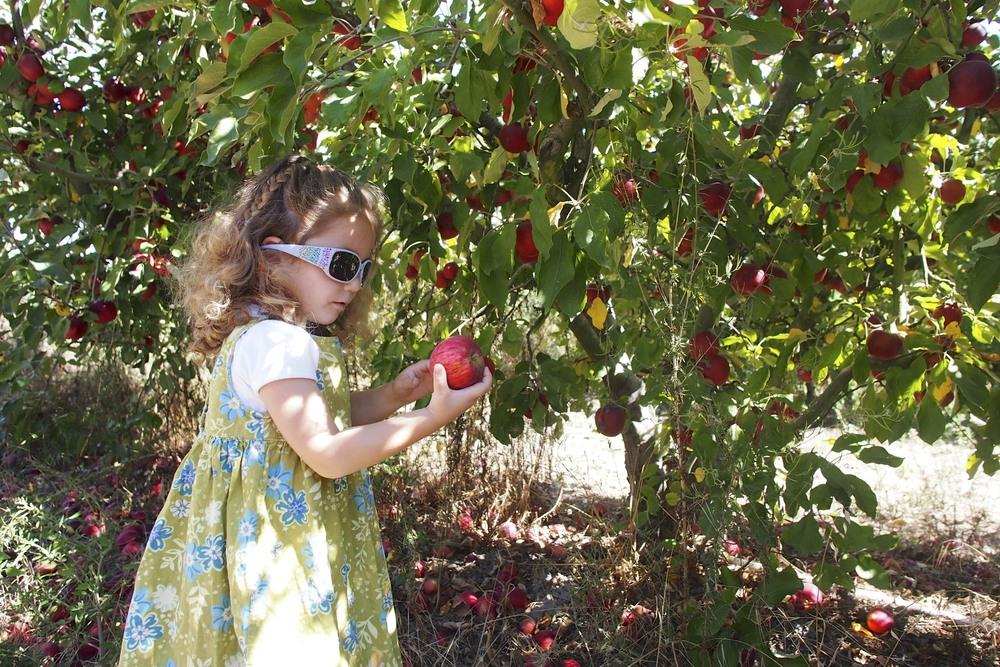 Apple Picking at Twin Hill Ranch, Sebastopol, CA.