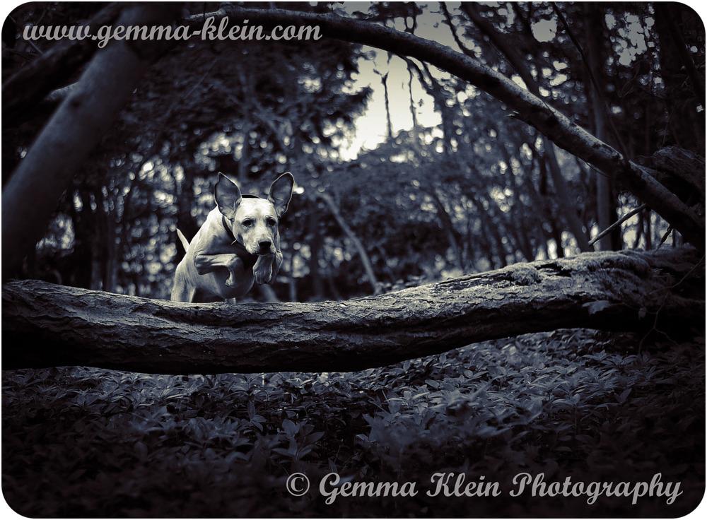 Rhodesian Ridgeback, Hangars Way, Petersfield, Hampshire. Gemma Klein Photography. Pet Photographer.