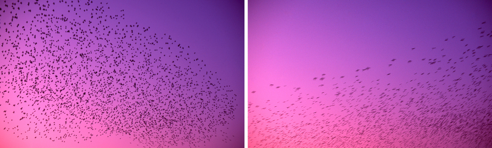 Flocking starlings on Velvia
