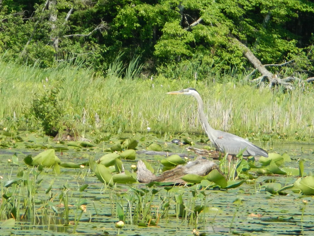 Great Blue Heron, Maine lake (Mimi Stadler 2016)