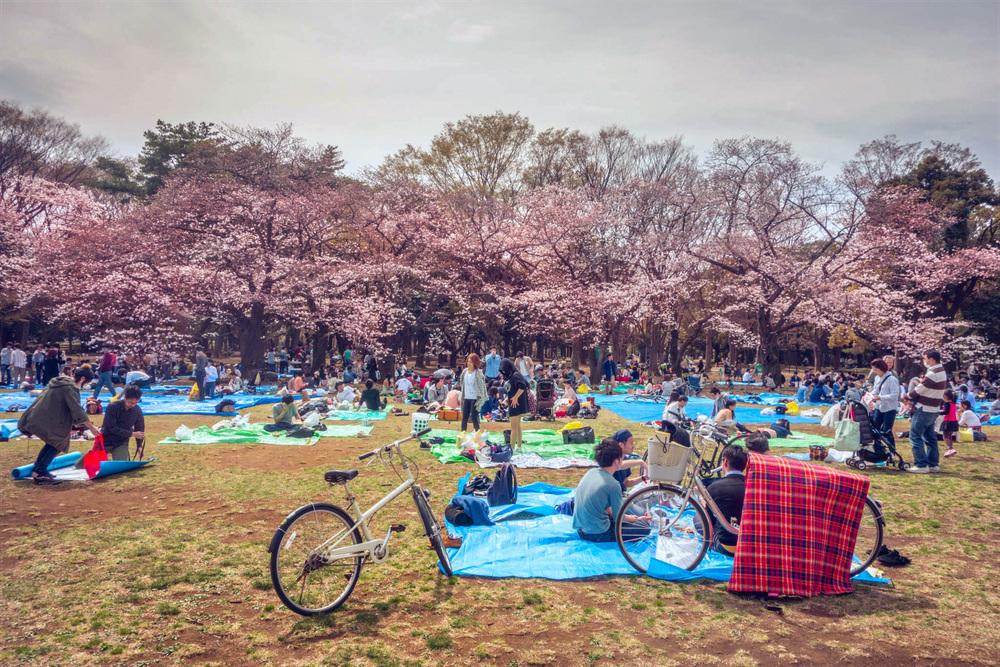 cherry blossoms, yoyogi park