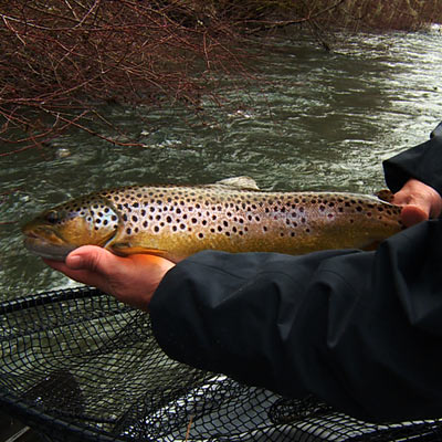 Don Freschi with a beautiful Cowichan River Brown Trout