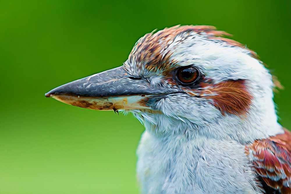 Australian King Fisher - Laughing Kookaburra.