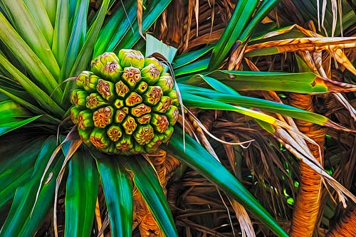 Pandanus Fruit