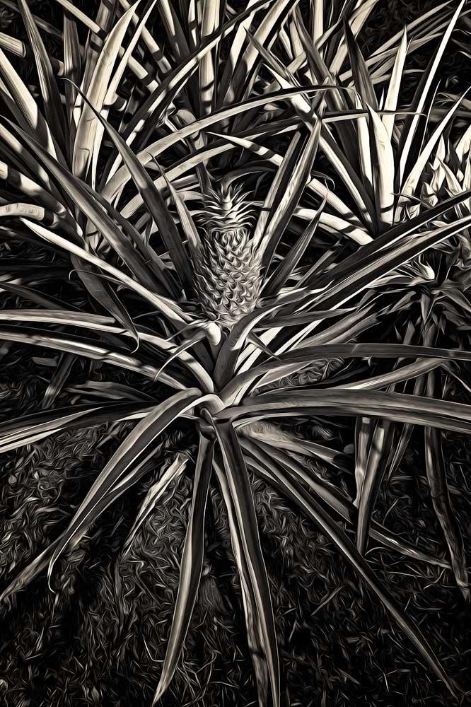 Australian Pineapple