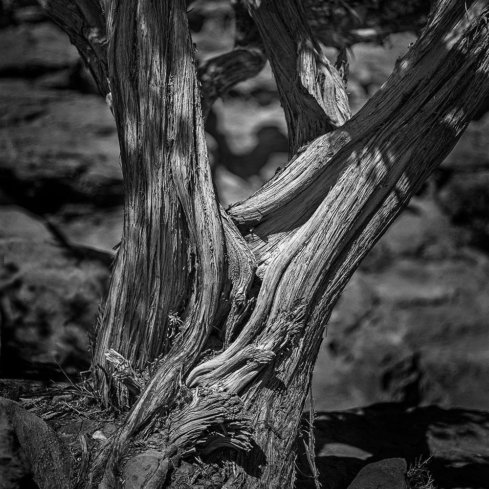 Ancient Tree, Little Petra, Jordan, 2015
