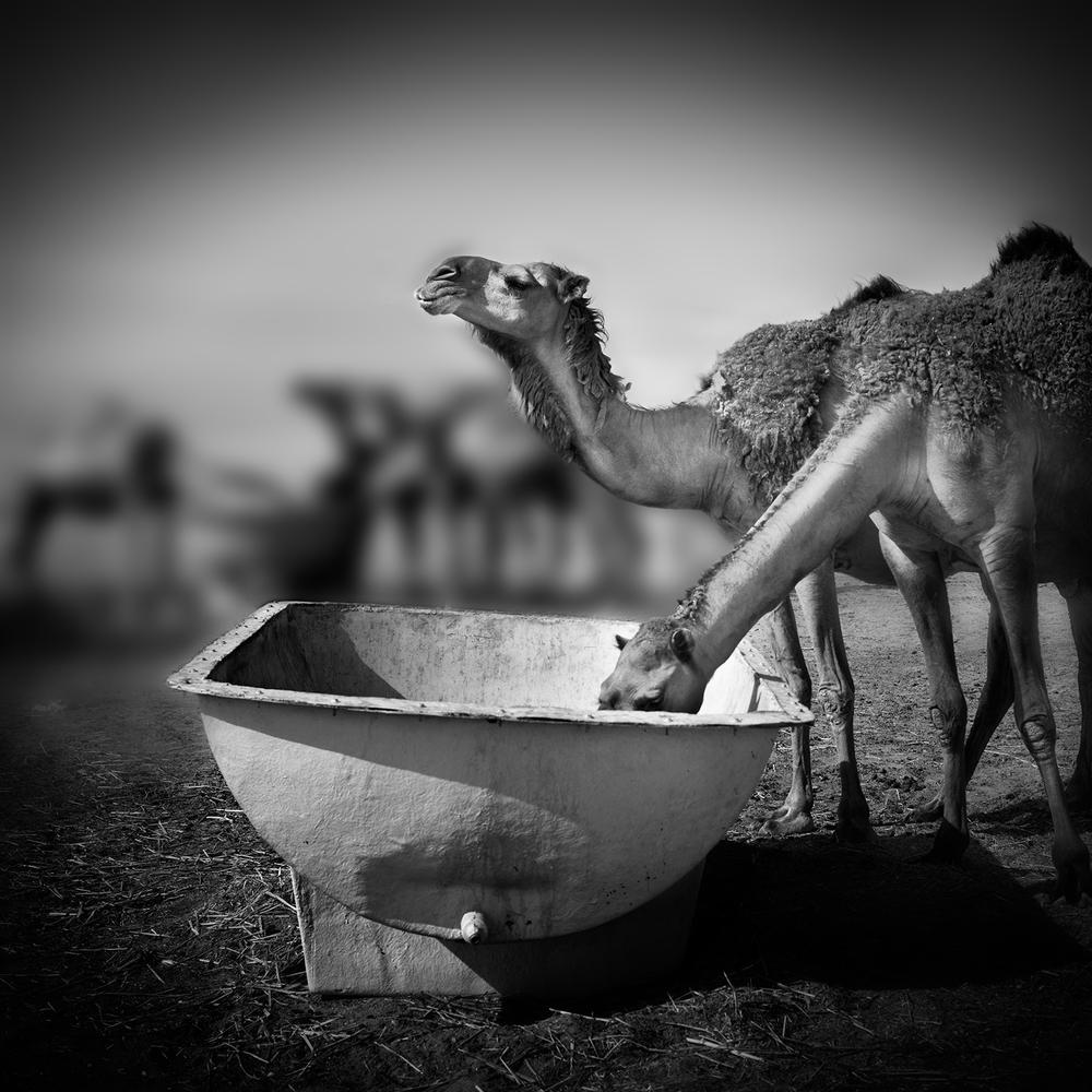 Camel II - Lookout
