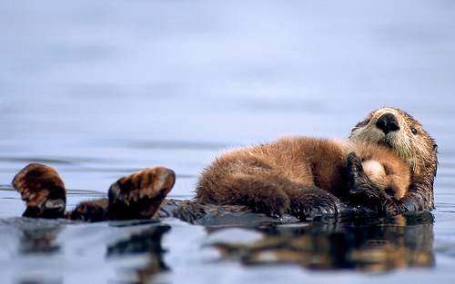 rootsgrowdeeper :      sea-rhinoceros :     Female sea otter floats with a newborn pup resting on her chest in Prince William Sound, Alaska (by  Calgary MAYOR NENSHI )     oh my sweet baby heavens.  baby otters.     … awh …