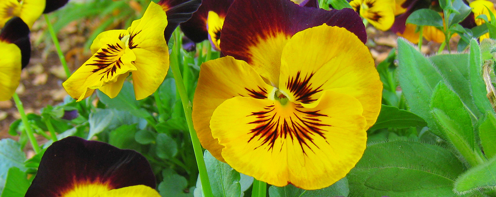 Pansies2_2014Feb.jpg