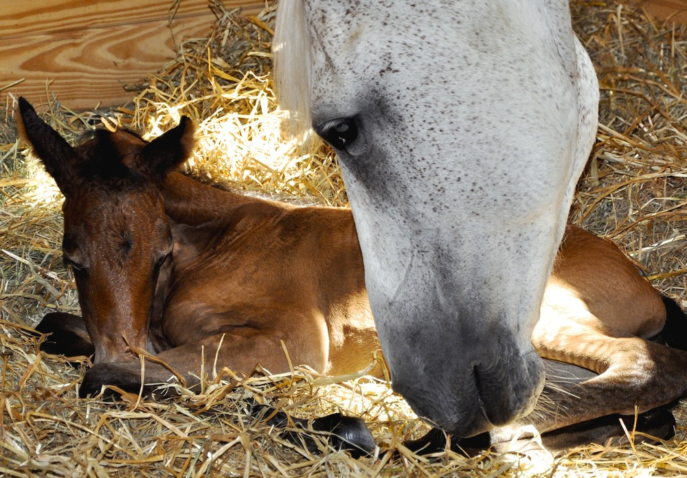 Mansfield's Grace and Calista, hours old as filly and dam, July 11, 2010
