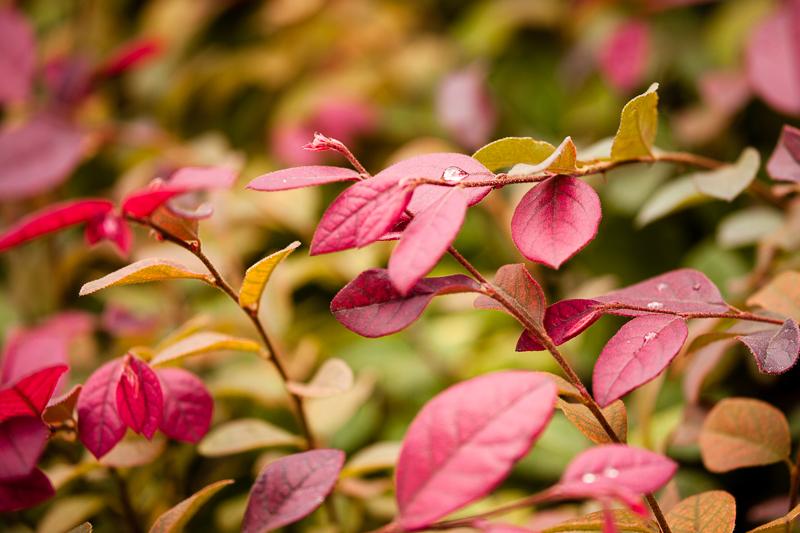 rain drop red leaves