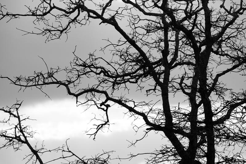 favourite tree bw