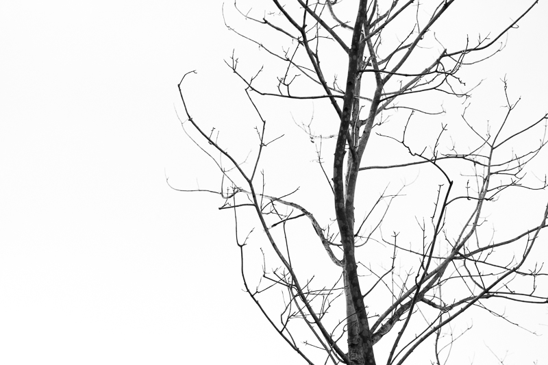 bare tree bw 503