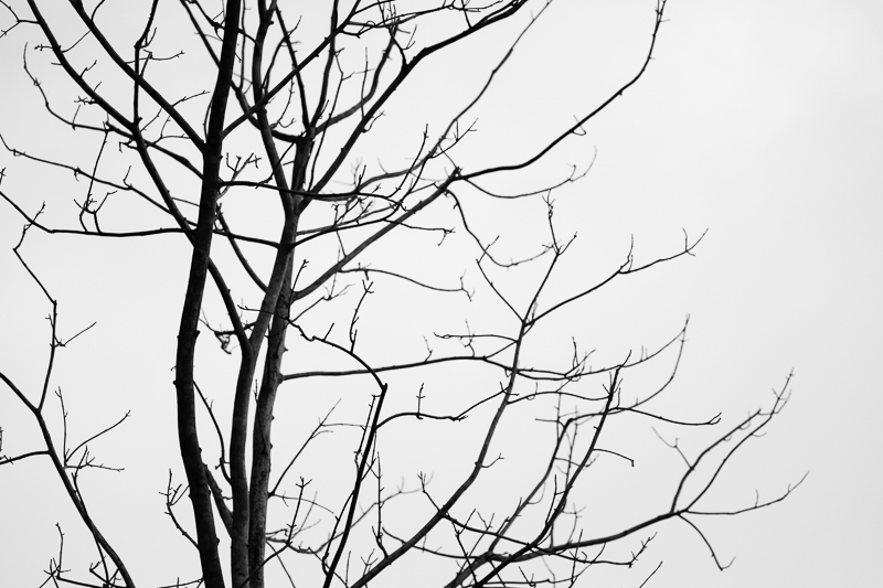 bare tree bw 522