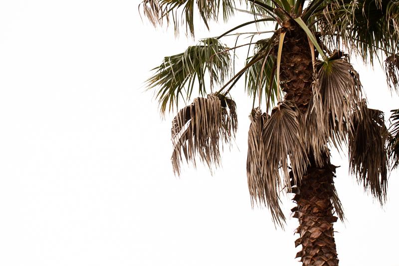 palm tree 527