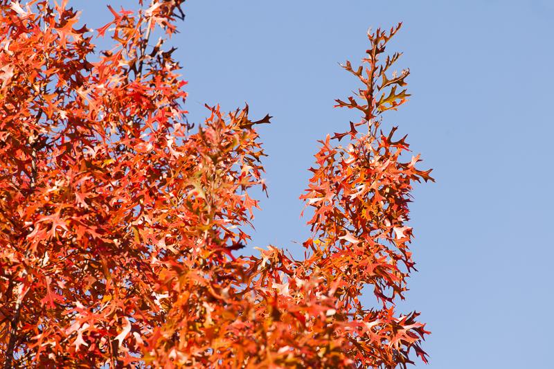 bright redorange leaves