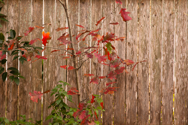 fence leaves