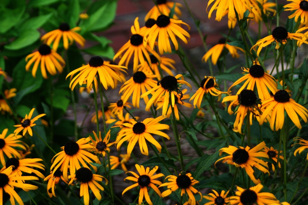 Black Eyed Susans in the wildflower garden