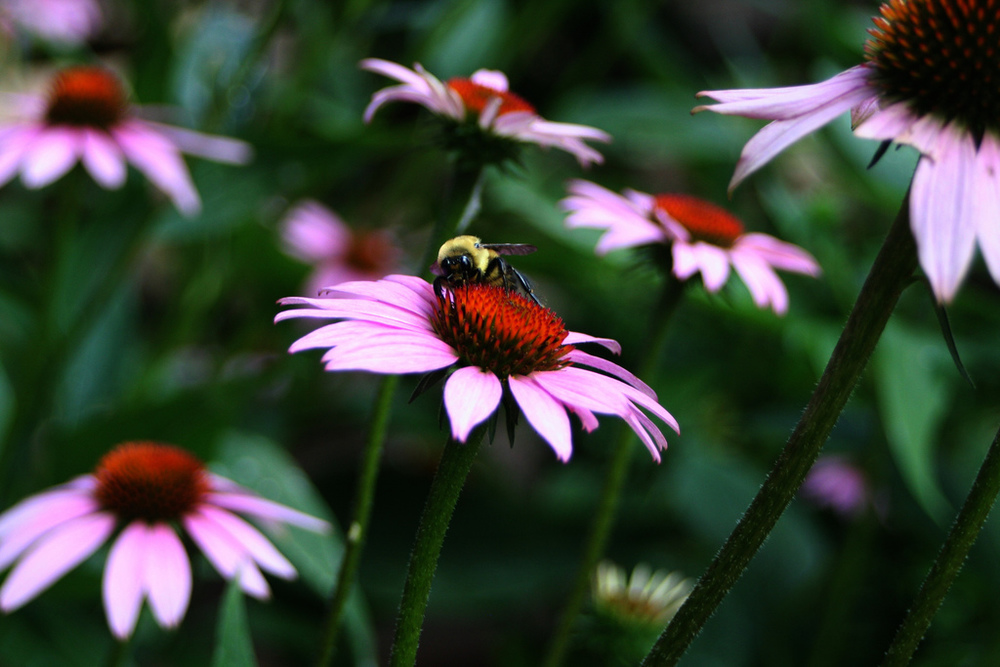Honey bee enjoying the coneflower in the wildflower garden