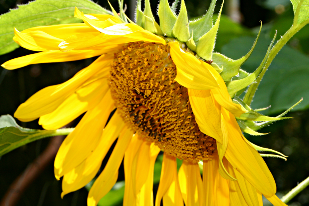 A bee visiting the sunflower garden.