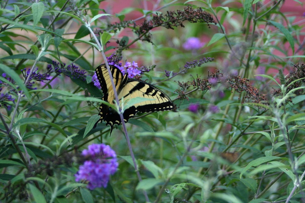 A visit to the butterfly bush
