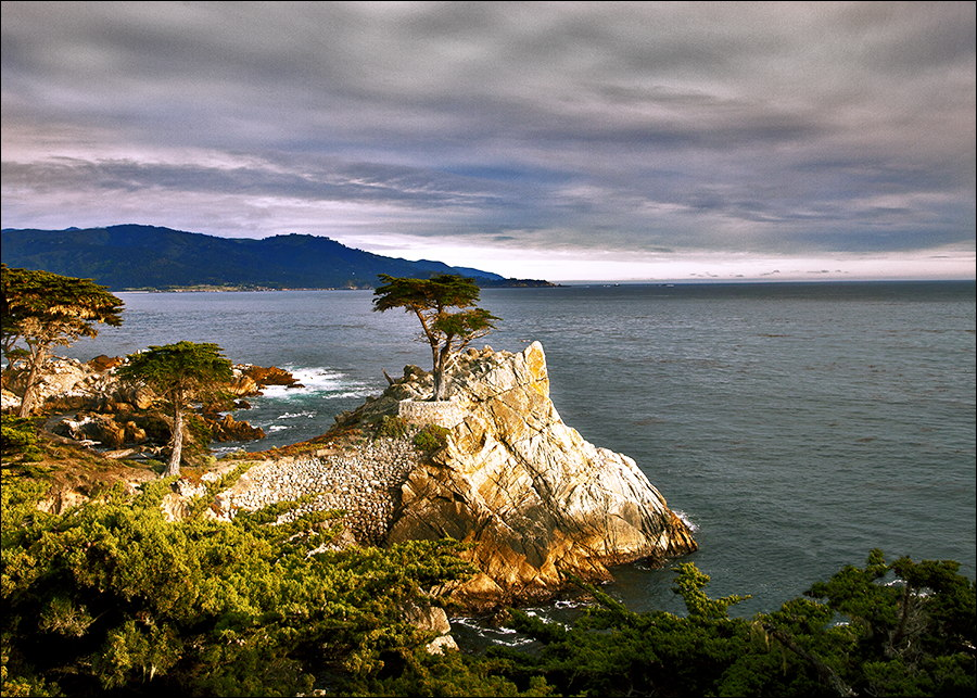 Monterey-Lone Cypress Tree.jpg