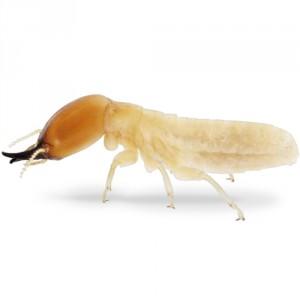 termite-300x300.jpg