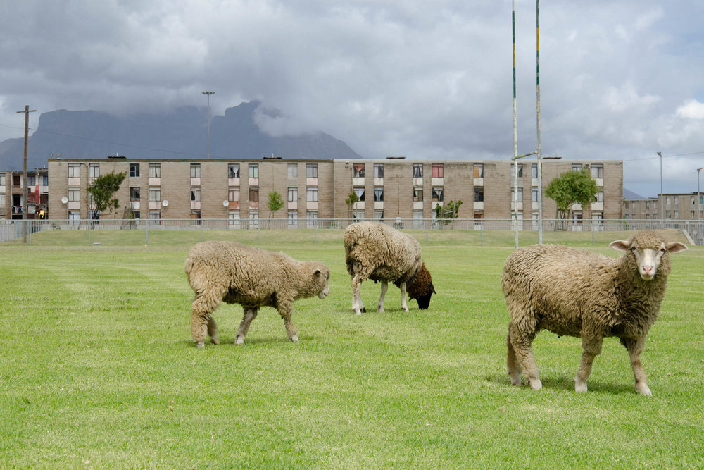 Black Sheep, 2011