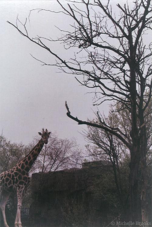 (c) giraffe