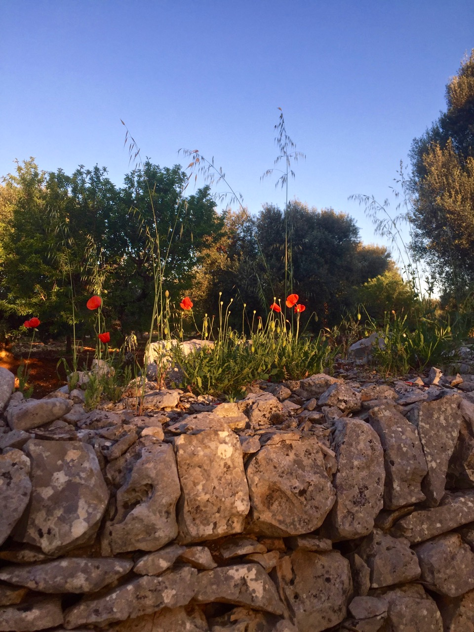 poppies and wall.jpg