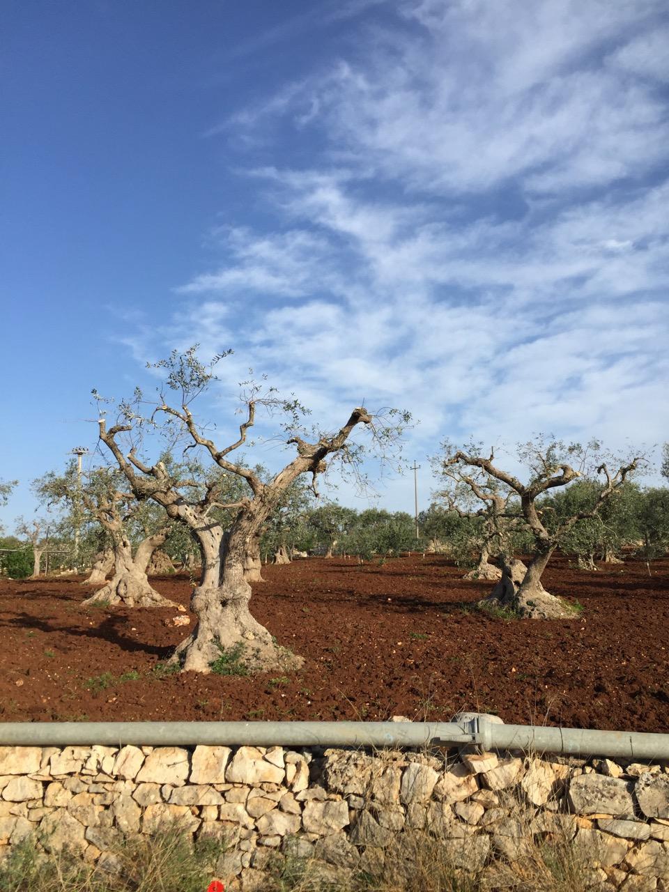 Olive Trees (1).jpg