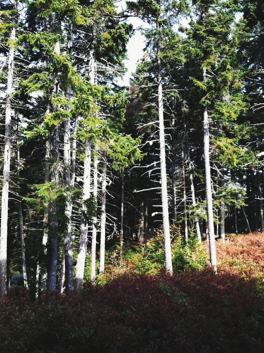Maine Woods.jpg