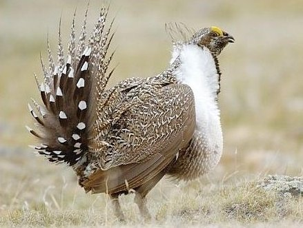 Male Sage Grouse credit Montana FWP.jpg