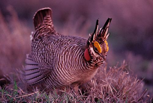 Male Lesser Prairie-chicken, Joel Sartore.