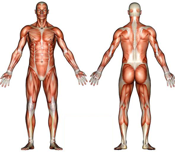 top 5 strongest muscles in the body — fighting fit bc, Cephalic Vein